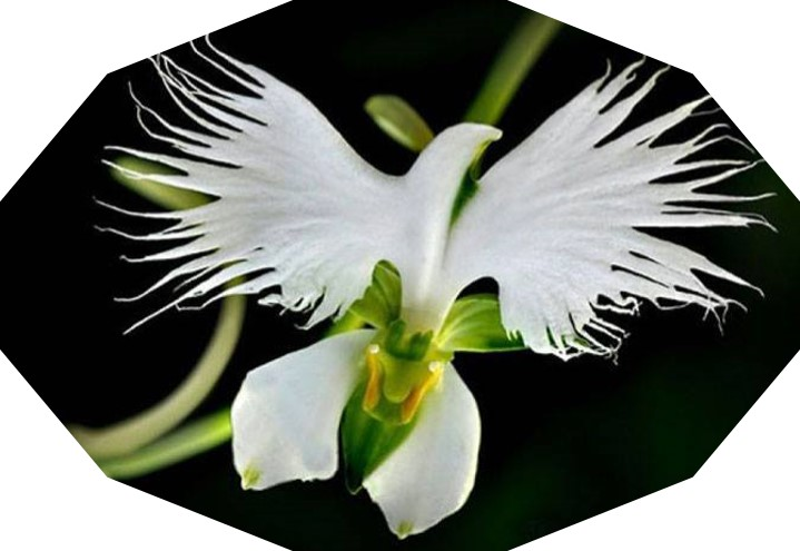 Fleur-Colombe